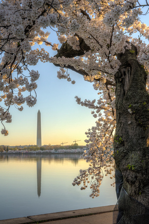 Washington Monument During Peak Bloom 2015